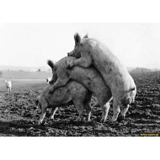 cerdos indecentes.jpg