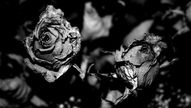 rosas23gm.jpg
